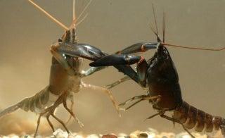 Fighting crayfish