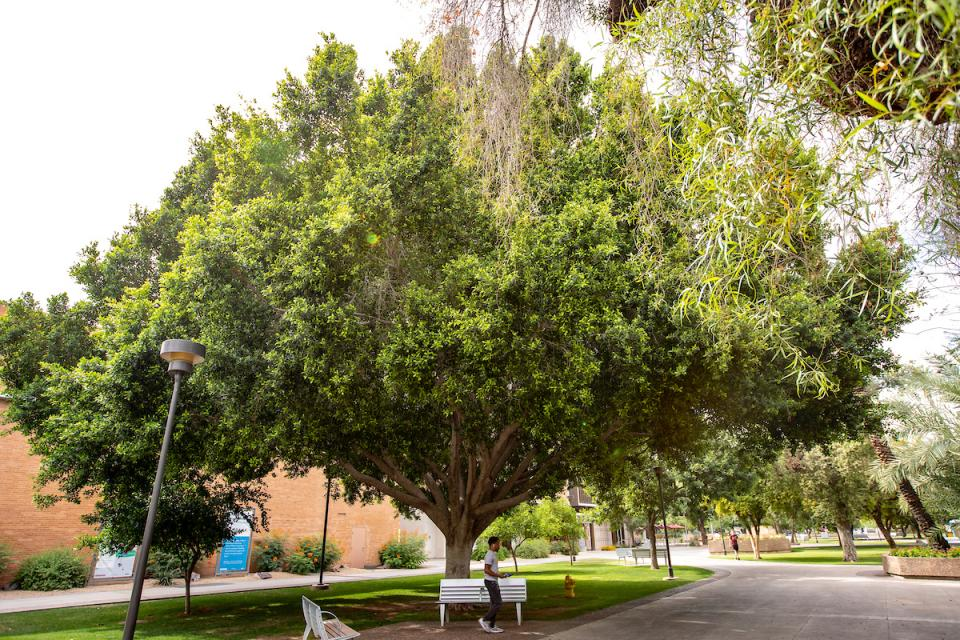 Cool ASU spot: under the giant ficus west of the Memorial Union