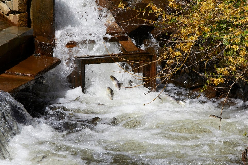 River herring accelerate up fish ladder. Town Brook, Plymouth, Massachusetts