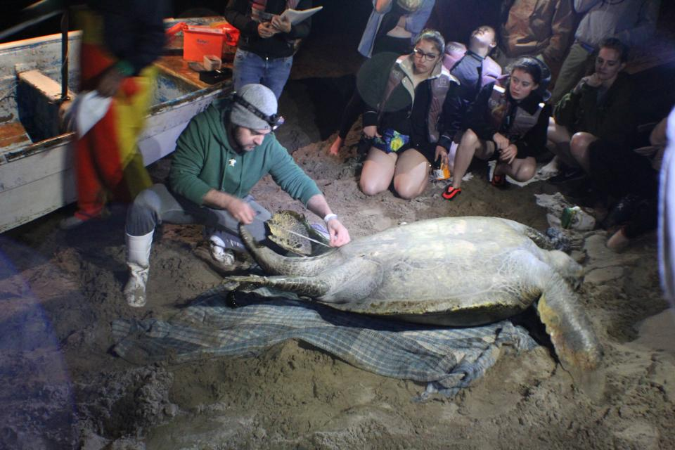 ASU professor Jesse Senko measures sea turtle in Mexico