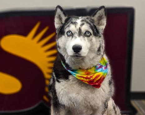 Husky mix posing in front of ASU sign